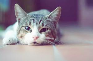 猫咪不慎吃入异物,主人需学会五点急救方法,紧急催吐最为要紧!