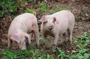 """猪年挣猪钱 乐畅提高生产性能助力""""金猪""""年!"""