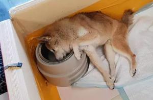 黄子佼18岁老狗患痴呆症,临终前突然清醒跟他告别