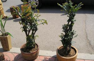 养小叶紫檀树风水 小叶紫檀盆栽风水有什么说法