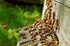 蜜蜂常见植物中毒综合防治措施,养蜂人必备的养蜂常识