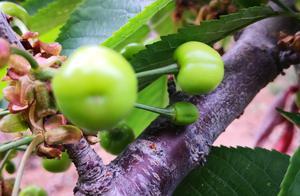 喜欢吃樱桃,一起关心山区农村樱桃的成长