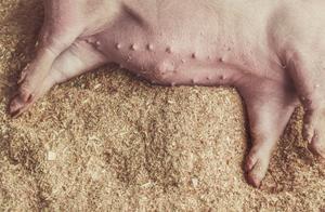 人民日报释疑猪肉质量安全问题:为啥要喂饲料及饲料添加剂?