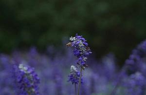 """藏在重庆的""""普罗旺斯"""",今年初夏不能错过的紫色花海!"""