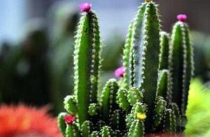 无意间种下一盆仙人掌,也能容易存活,观赏效果不错,好看