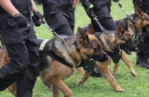 为啥警犬不选用中华田园犬?不是它们笨,而是太聪明