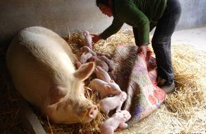 母猪为什么不发情?配种失败又该怎么解决?
