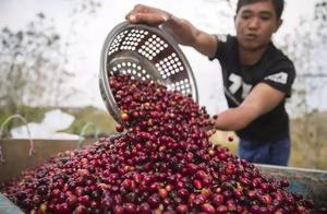 一粒咖啡种子的成长——云南咖啡寻求突围走上世界舞台