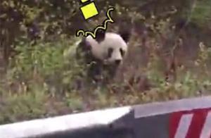 邮递员上班途中偶遇大熊猫:熊猫你好!熊猫懵了