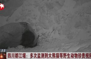 """发现""""国宝""""出没!都江堰多次监测到大熊猫等野生动物珍贵视频"""