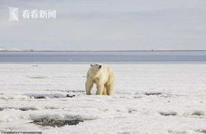 北极熊觅食迷路流浪700公里 俄罗斯为送其回家伤脑筋