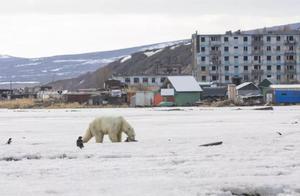 哪里才是家?北极熊流浪700公里到达俄罗斯小镇