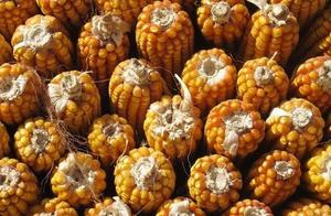 这些玉米品种不让卖了!名单公布,一定看清楚!