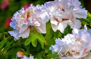 北京圆明园:牡丹绽放 游人赏花