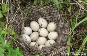 主人捡回数颗蛋,母鸡以为是自家孩子,孵出后情绪失控