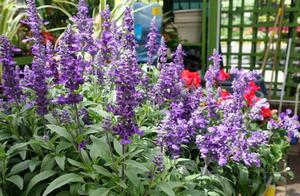 鼠尾草长得像薰衣草,价格却便宜一半,开花香,实在好看又好养