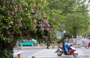 鄭州最美花墻丁香里街變身網紅墻 路旁鮮花盛開讓綠城名副其實