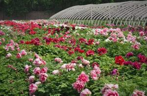 四月下旬,洛阳这个公园大田牡丹大片盛开!