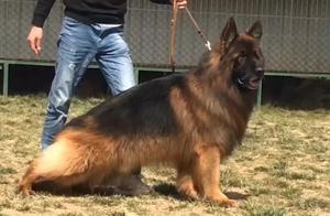 这才叫顶级德国牧羊犬,主人说这条狗借配一次都需要2000元,漂亮