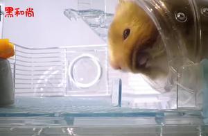 老外拍摄仓鼠吃东西,小家伙往自己的嘴里塞了许多,网友:贪吃!