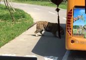 野生动物园的大老虎