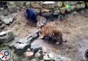 珍贵视频:藏獒大战老虎,最后难分胜负