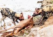 最贱手法,撕皮扯肛!最残酷的死亡 非洲野狗活吃羚羊!