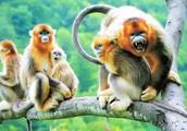 近距离观赏贵州梵净山的黔金丝猴,太漂亮了满身都是土豪金!