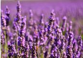 法国普罗旺斯的薰衣草,美尽显眼前 你知道那时候开吗?