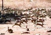 澳大利亚野兔泛滥,当地人无计可施,中国吃货赶紧的!