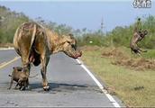两只小比特犬勇斗巨牛!