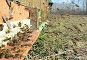 蜜蜂疾病预防18:蜜蜂农药中毒