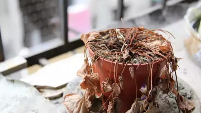 家里养芙蓉花在风水学上有什么讲究吗?谢谢!