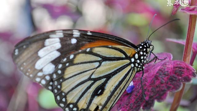 风水学半夜家里飞进一只很大的黑蝴蝶代表什么