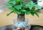 发财树根部腐烂大多数原因是因为浇水过多,或者是花盆积水导致的