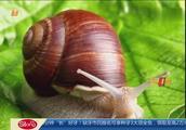 雨天频现大蜗牛 一只带上百寄生虫 小孩别碰