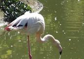 难得一见的鸟中贵妇,实拍维也纳美泉宫动物园里的火烈鸟
