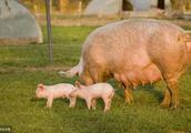 如何对后备母猪诱导发情
