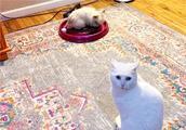 猫咪地盘被兔子强占,小猫前去交涉无果,只能无奈求助铲屎官!