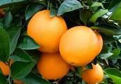 2018年赣南各地各县的橙子如火如荼,价格却涨了!为什么这么火?