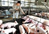 母猪群在解决蓝耳、圆环问题时为什么会出现产期延迟的现象!