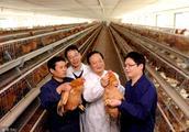 云南在雞飼養過程中常用的飼料有哪些