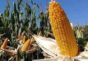 中国再现玉米好品种,农业双国审,轴细籽粒深,亩产2000斤