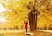 「如歌对联118」上联:风吹银杏金蝶舞,邀您对下联