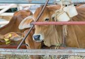 三农养殖,养牛误区需警惕,否则损失会很严重!