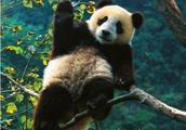 """世界自然保护联盟:大熊猫脱离""""濒危""""等级"""