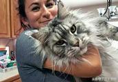 缅因猫:养不起的巨型猫,感觉可以与藏獒一战!