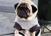 一只被遗弃街头的巴哥犬,这个小眼神,宝宝心都碎了