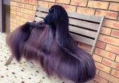 照片被疯传几百万次,拥有世界上最漂亮毛发的阿富汗猎犬