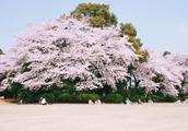 日本东京赏樱攻略:一座城池,六处美景赏尽春日